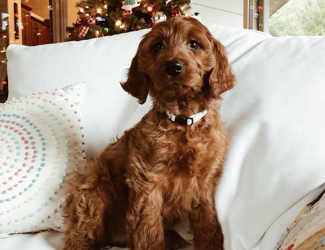 Irish Doodle named Pisgah sits on a couch in front of a Christmas tree