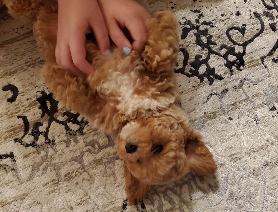 Person rubs a Poochon's belly
