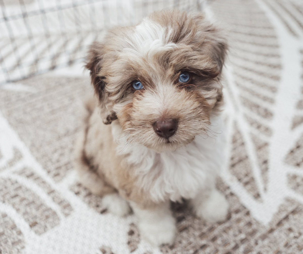 An Aussiedoodle puppy with blue eyes