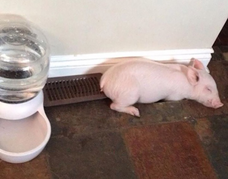 A baby pig rests near the heating vent.