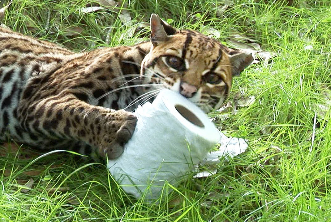 An ocelot plays with toilet paper.