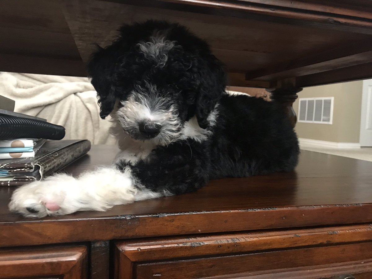 Bordoodle puppy sitting under a coffee table