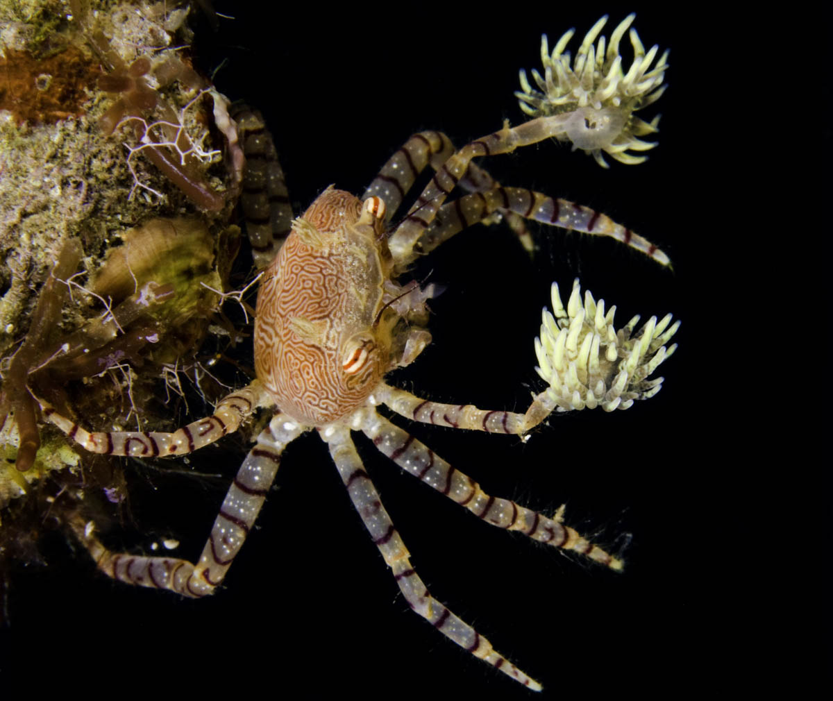 boxer crabs arent as innocent as they look