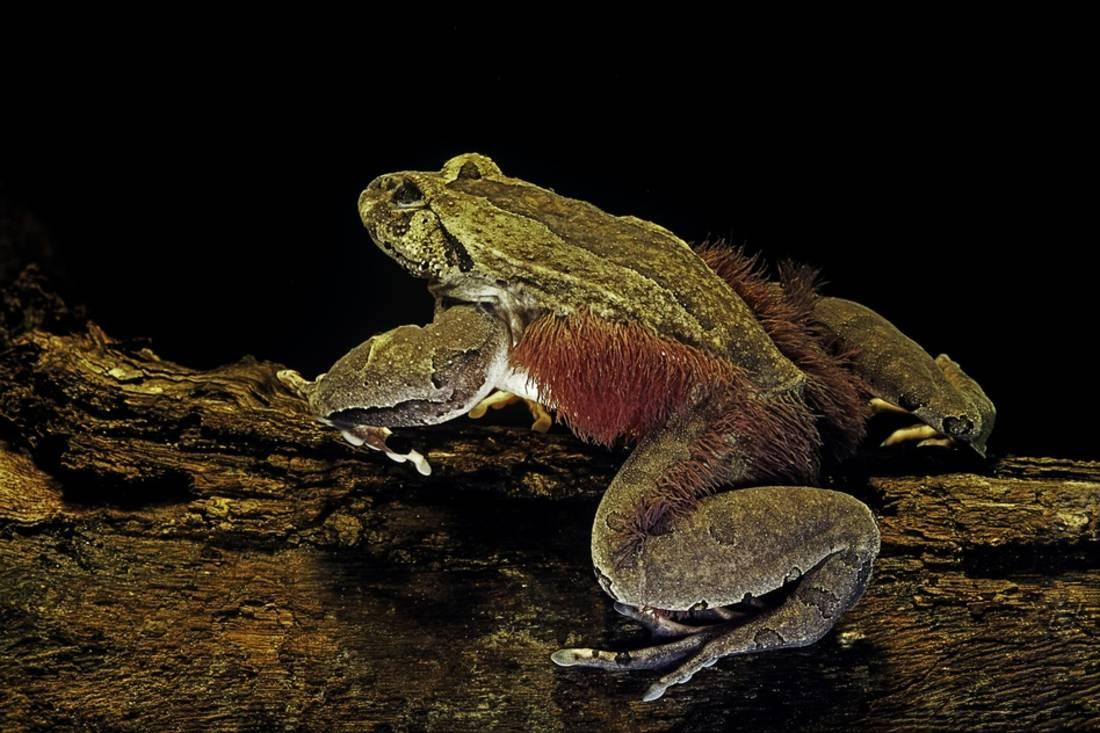 hairy frogs arent as innocent as they look