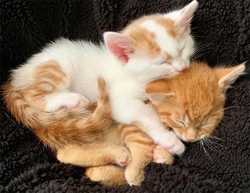 Sibling kittens snuggle