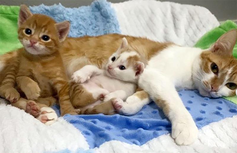 A cat lies down beside her two kittens