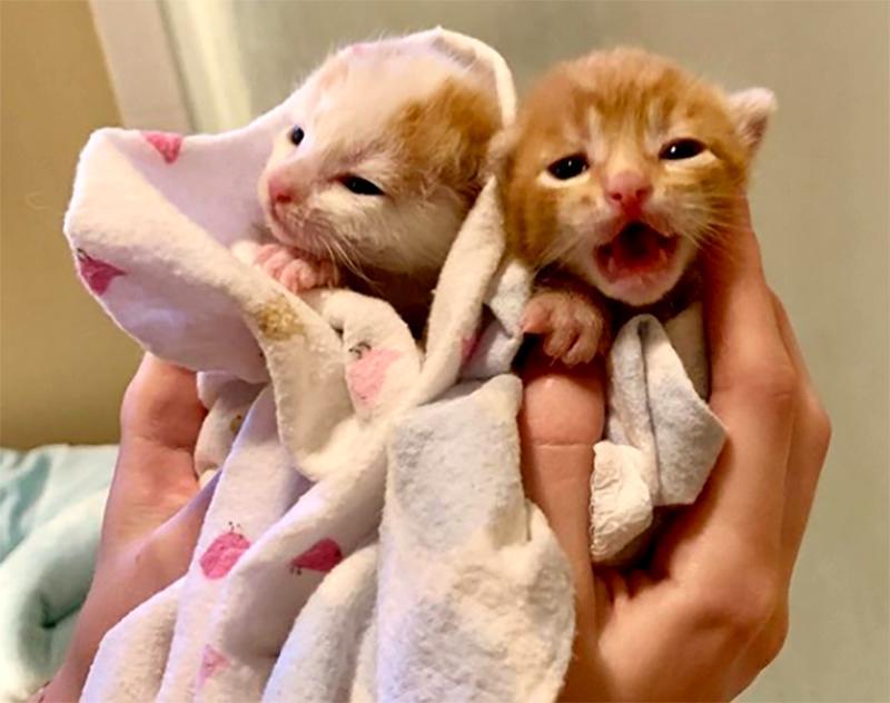 Siblings kittens are held in a light blanket
