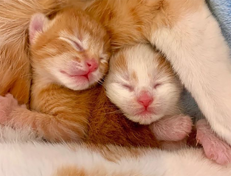 Two newborn kittens are cradled in their mom's arms
