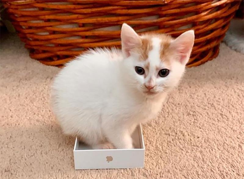 A kitten perches in an iPhone case
