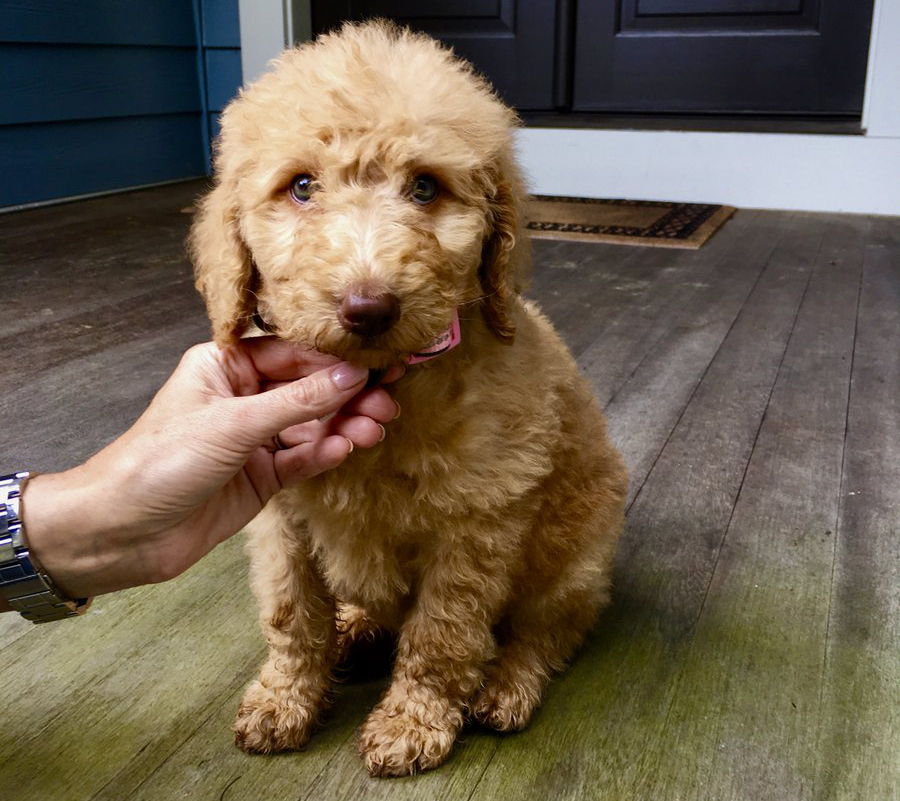 Eight-week-old Labradoodle named Nala