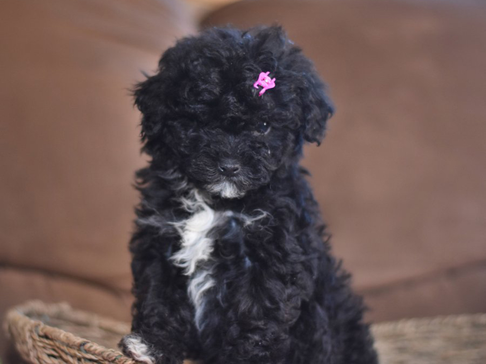 Lhasapoo puppy with black curly fur