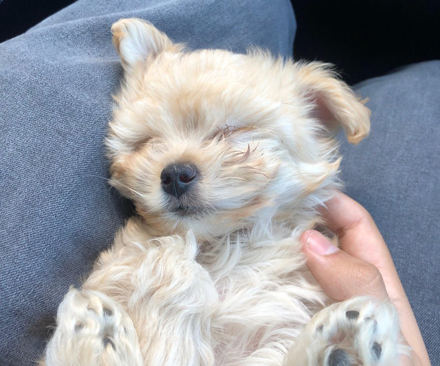 Maltipoo puppy lies on her owner's lap