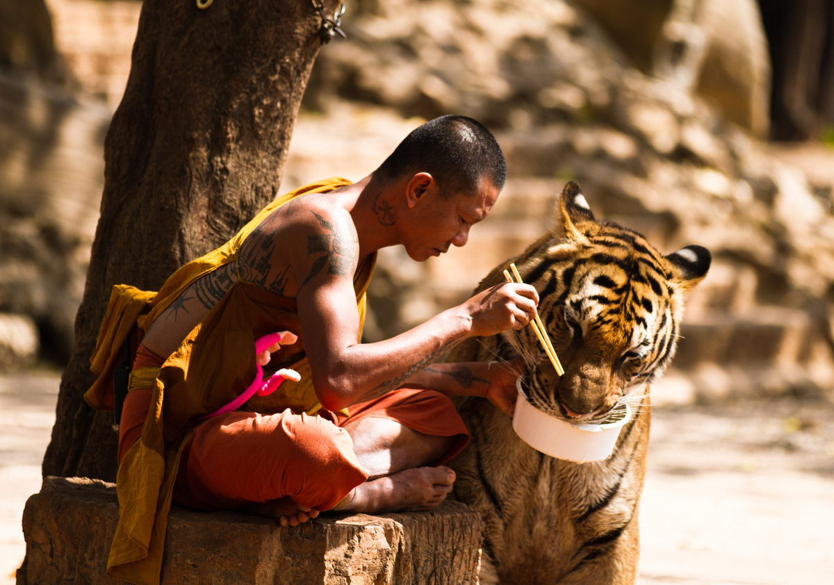 Monk feeds tiger from his bowl.
