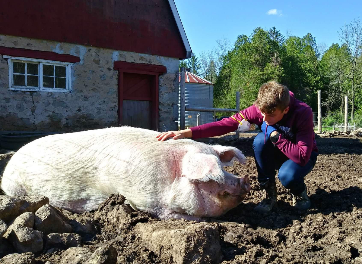 Farm staff Dan pets Esther the pig
