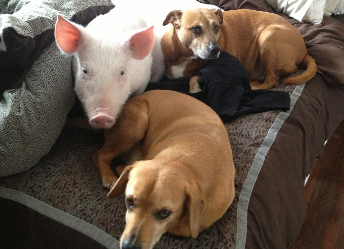 Esther the pig sits with two dogs on a couch.