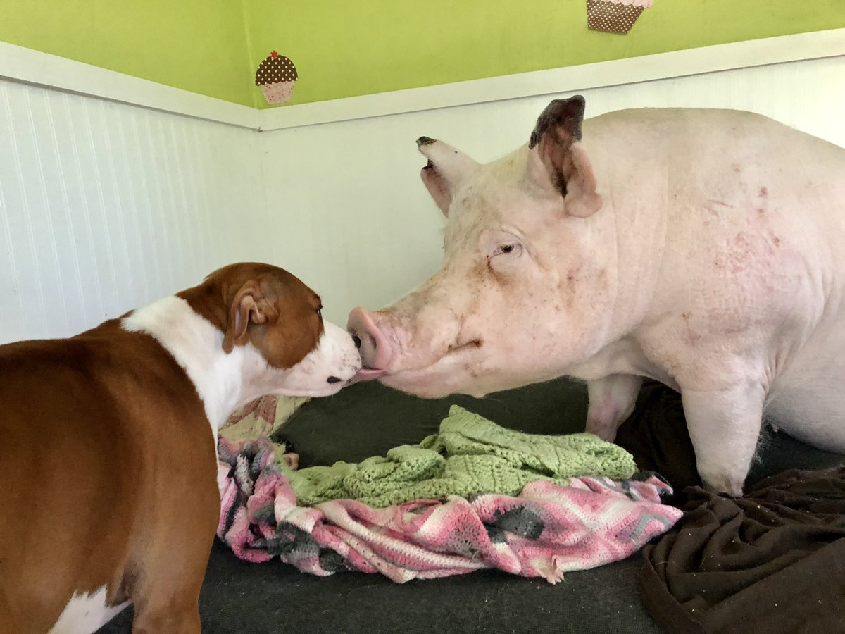 Esther the pig licks a dog.