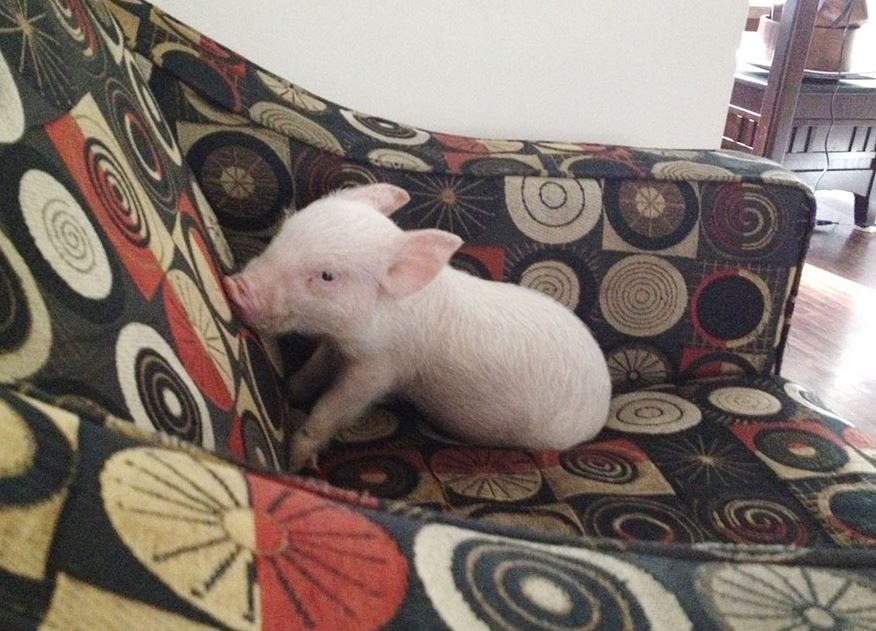 A tiny piglett sits on a couch.