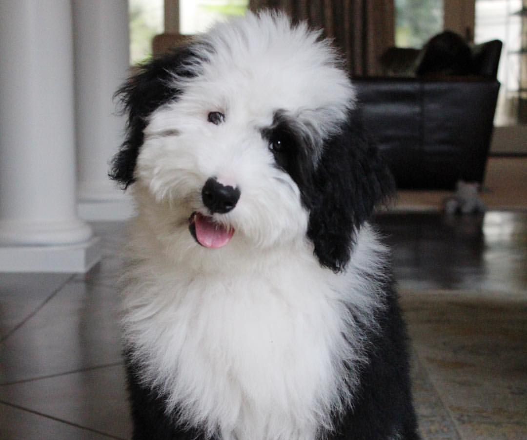 An Old English Sheepdog and Poodle mix
