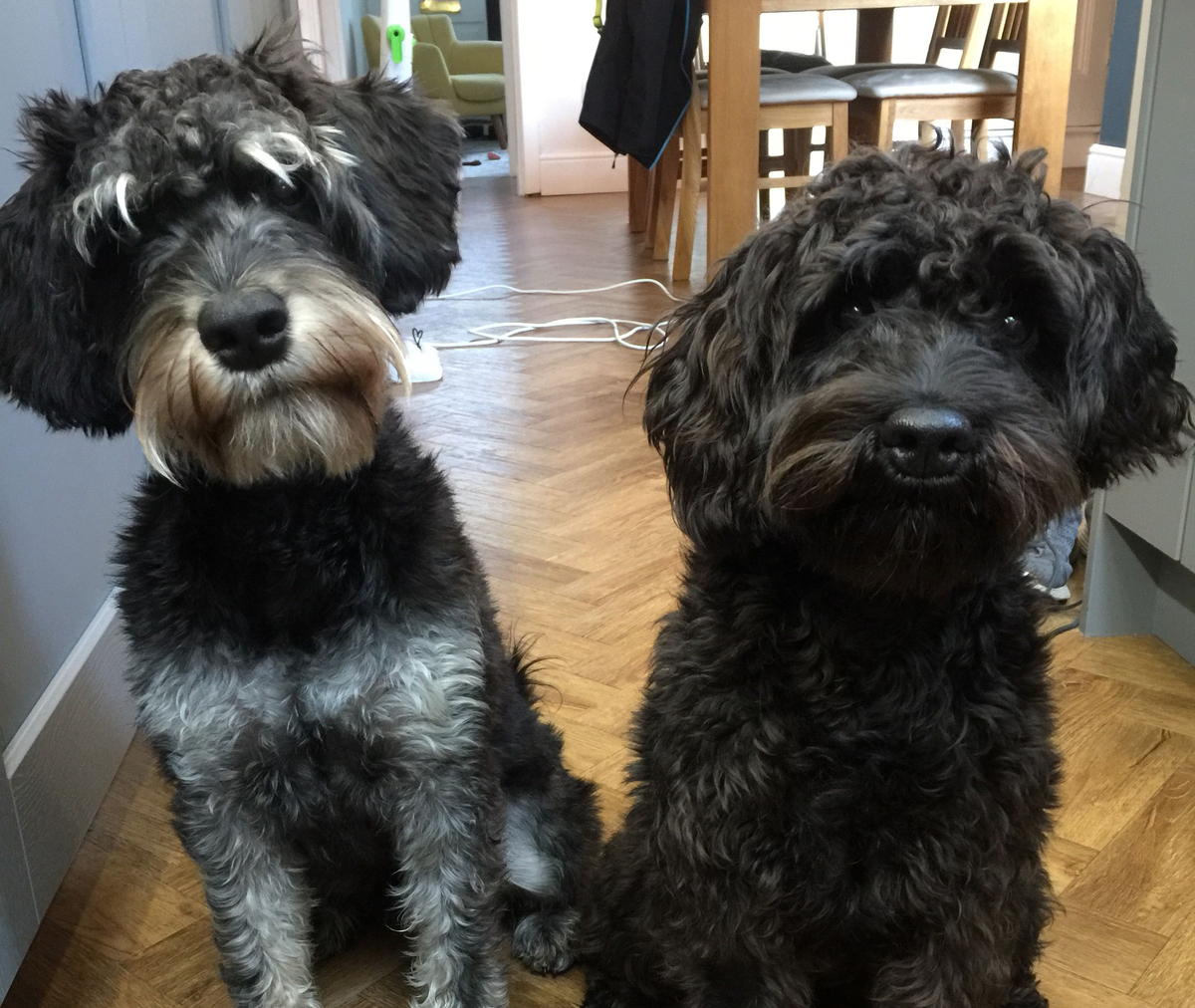 Two Schnoodle dogs named Tilly and Winston