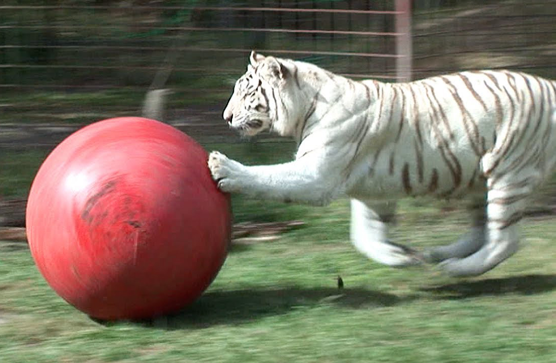 White tiger named Zagu chases her red ball.