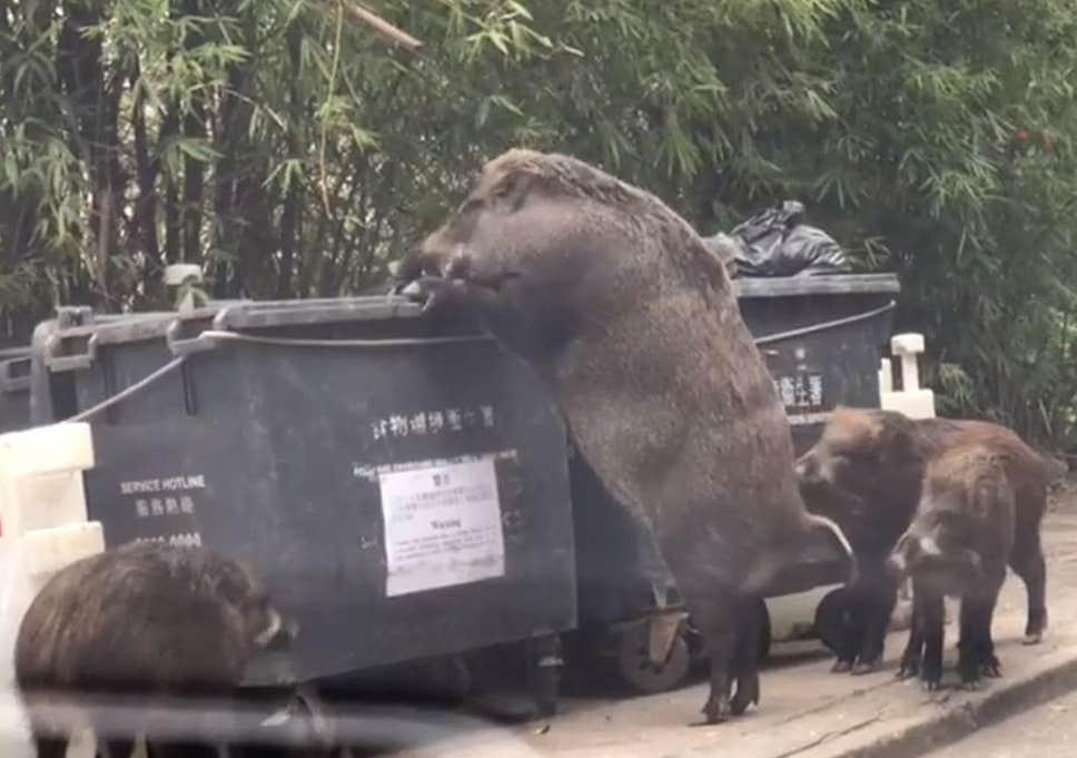 wild-boar-large