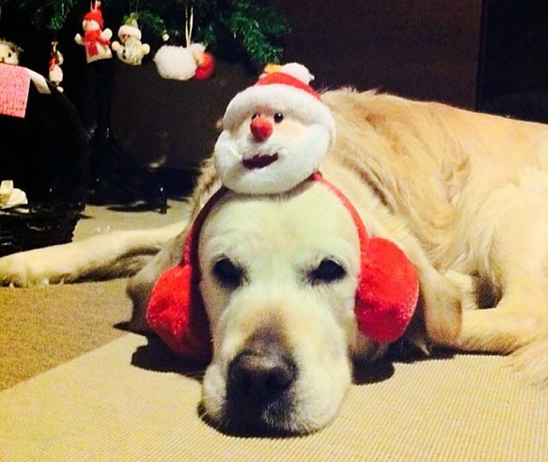 A dog lays on its stomach while wearing Santa earmuffs.