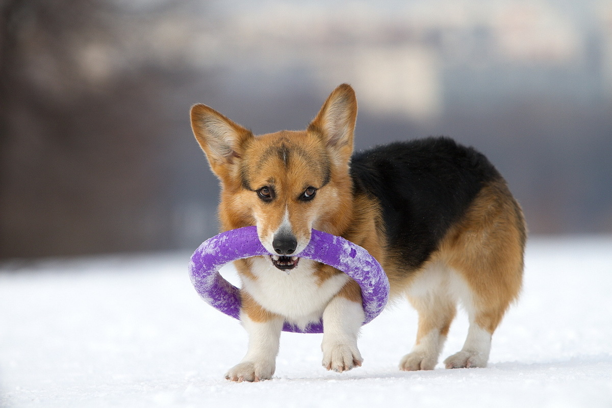 a clumsy corgie stuck in a hoop
