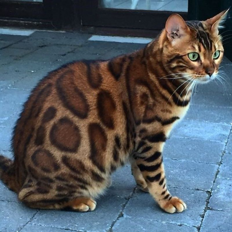 This Cat That Could Be A Leopard