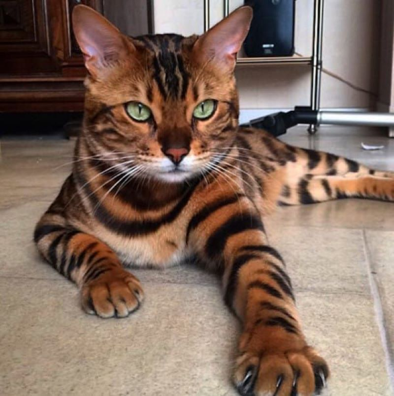 This Cat That Could Be A Tiger