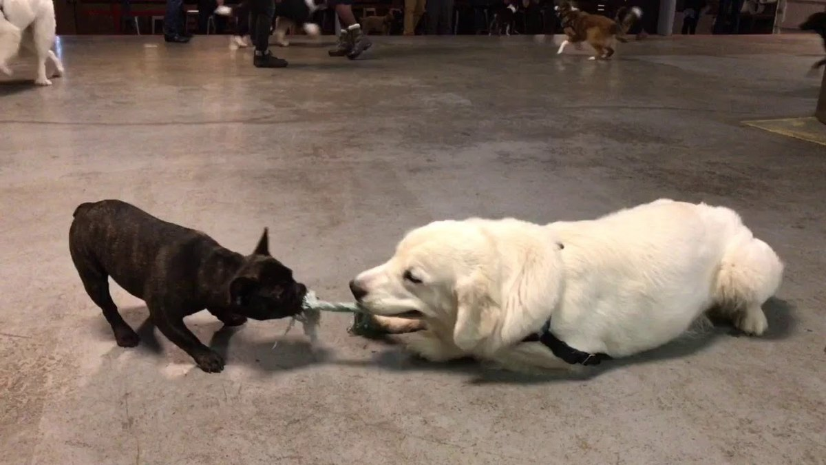 A large and small dog play tug-of-war.