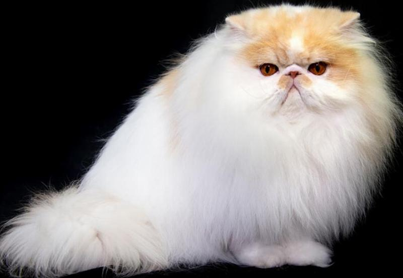 A fluffy, white persian cat sits in front of a black backdrop.