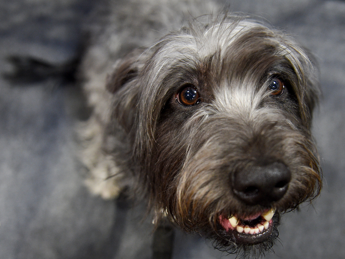 A Glen of Imaal Terrier looks up at the camera.