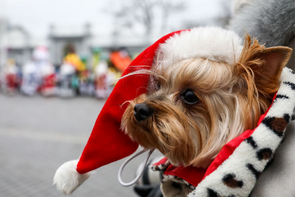 A dog wears a Santa hat and a coat outside.