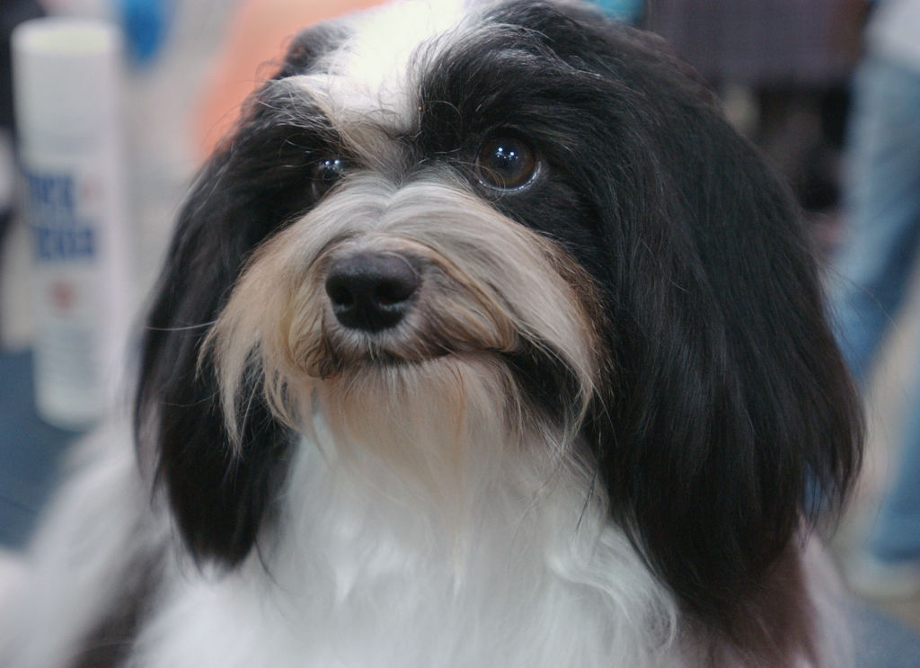 Havanese Went From Aristocracy To A Children's Playmate