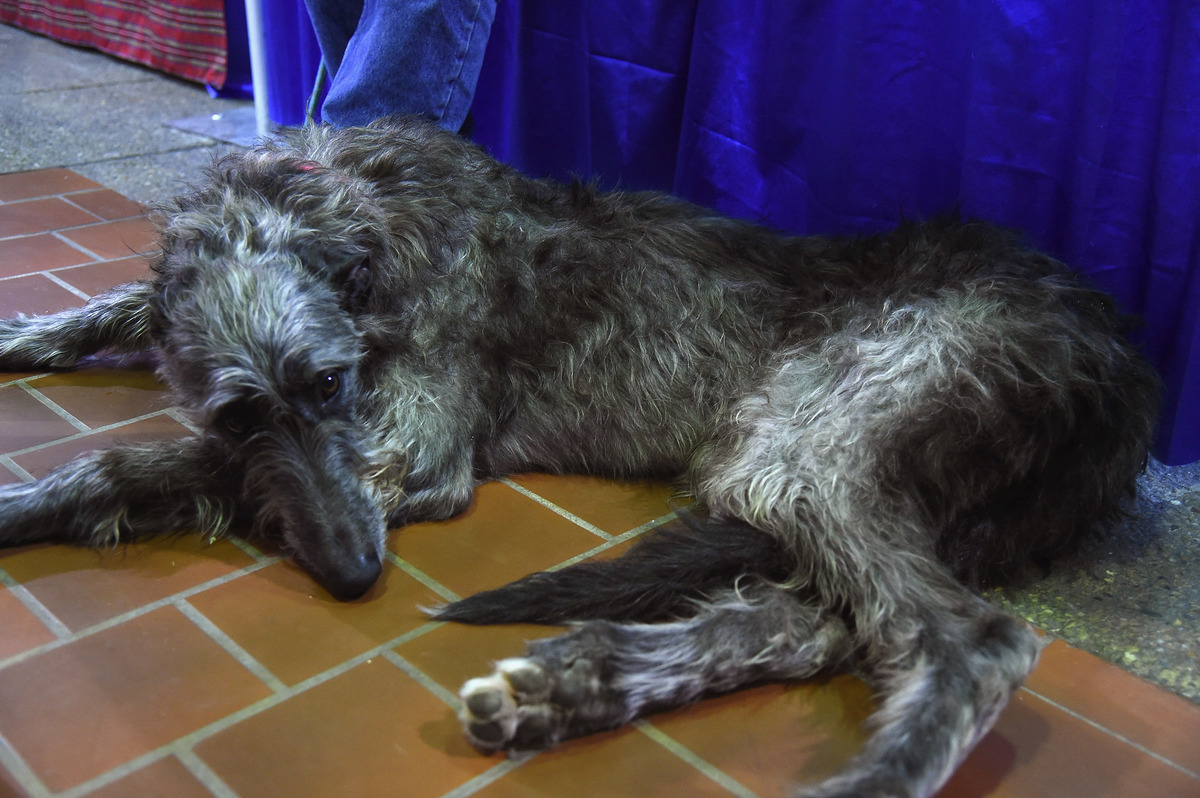River, a three year old female Scottish Deerhound rests on teh floor of the 7th Annual AKC Meet The Breeds.