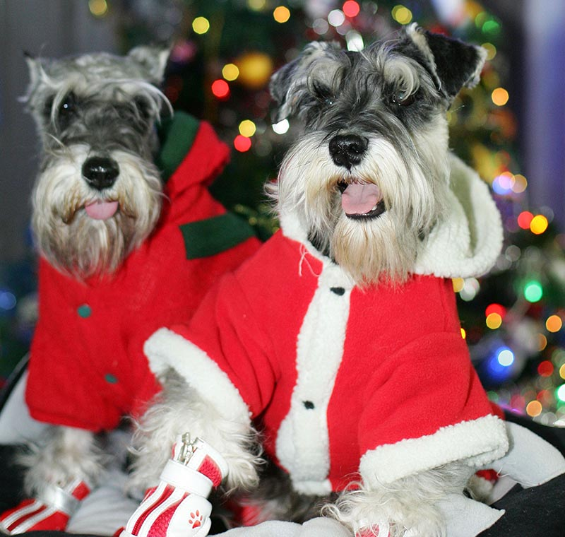 Two dogs wear matching Christmas coats.