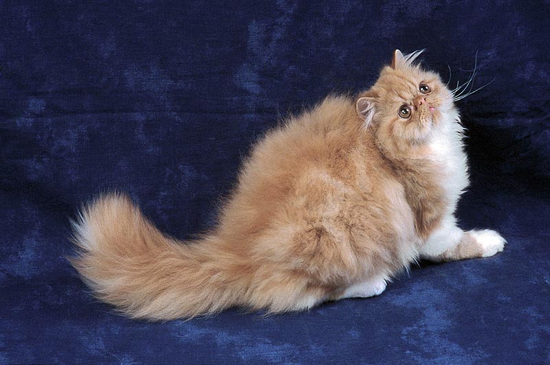A fluffy, orange cat is photographed on a blue, velvet backdrop.