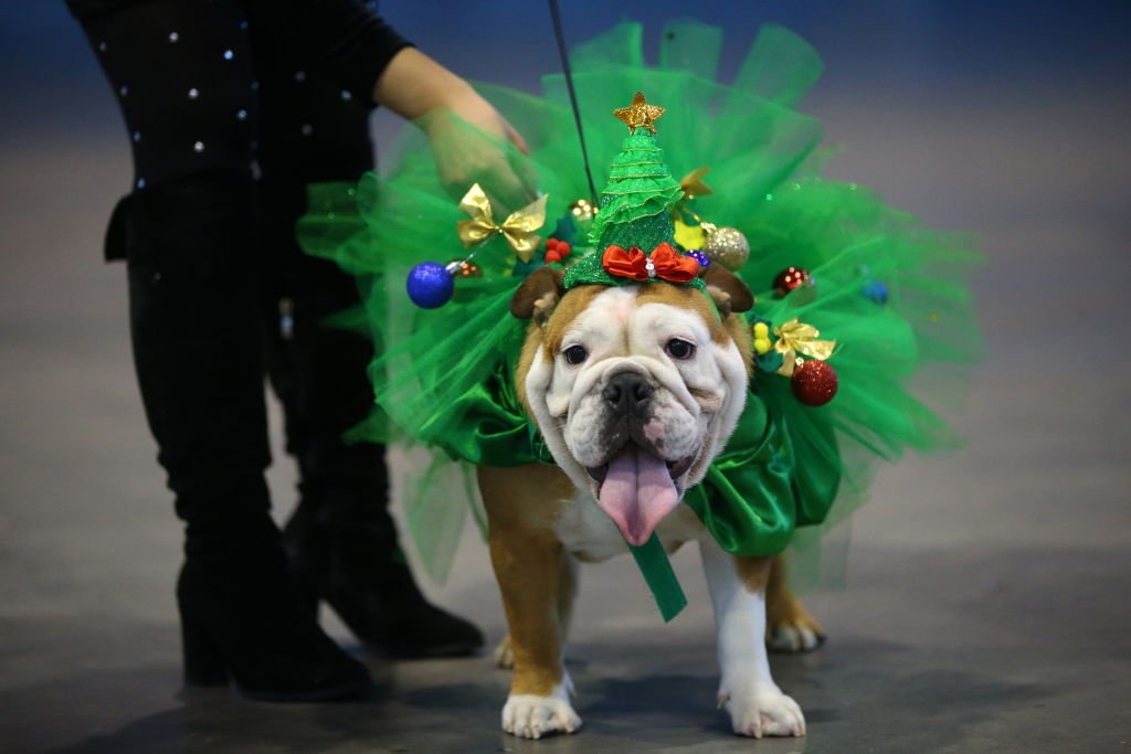 A bulldog is dressed to look like a Christmas tree.