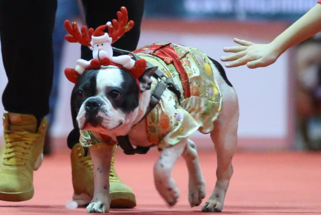An English bulldog wears a Christmas-inspired dress and headband.