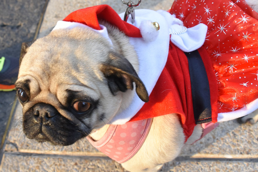 A pug is dressed as Mrs. Claus.