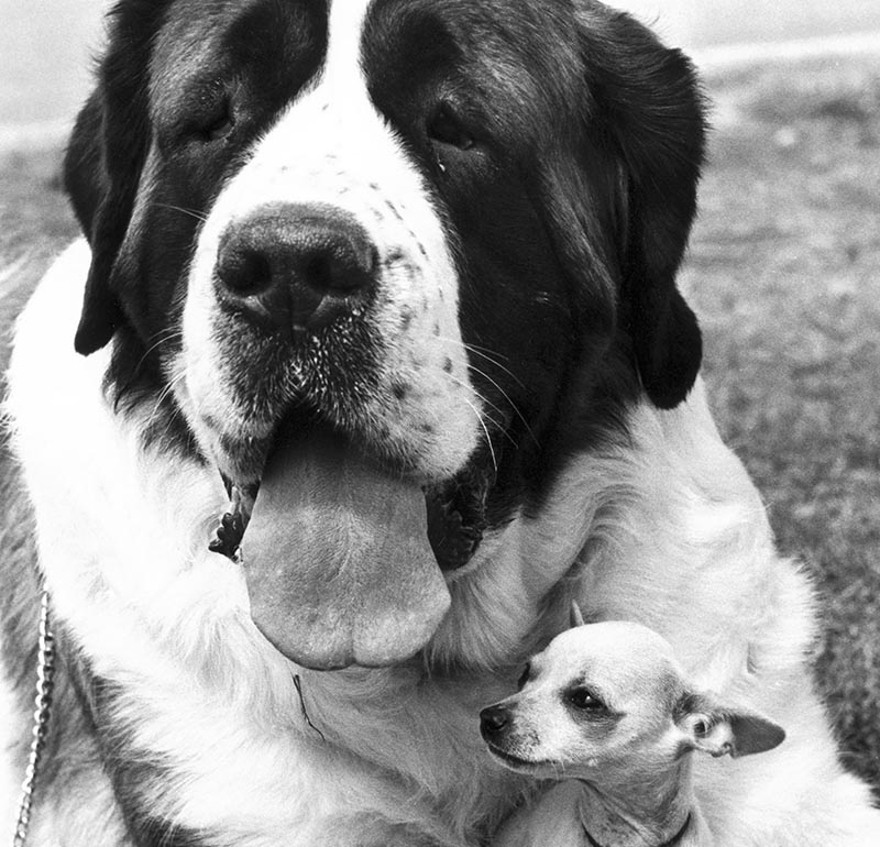 A giant Saint Bernard holds a chihuahua in its arms.