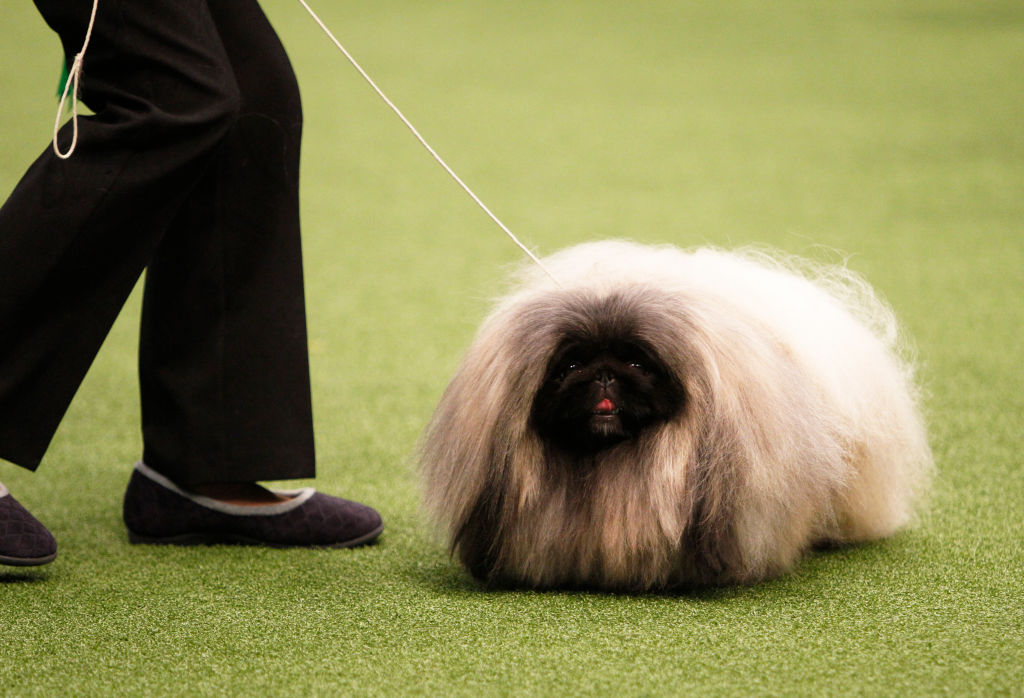 Pekingese Were Born To Live In Palaces
