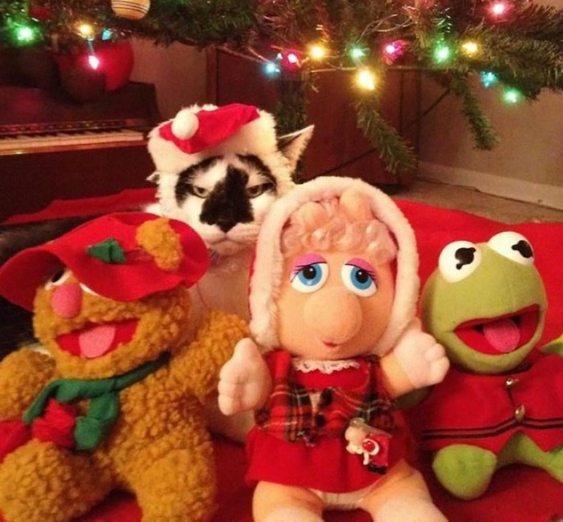 A cat wears a Santa hat and looks uninterested while posing with Christmas muppet dolls.
