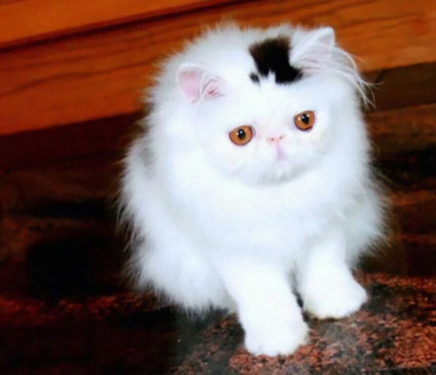 A white cat has a black patch of fur on top of its head in the shape of a top hat.