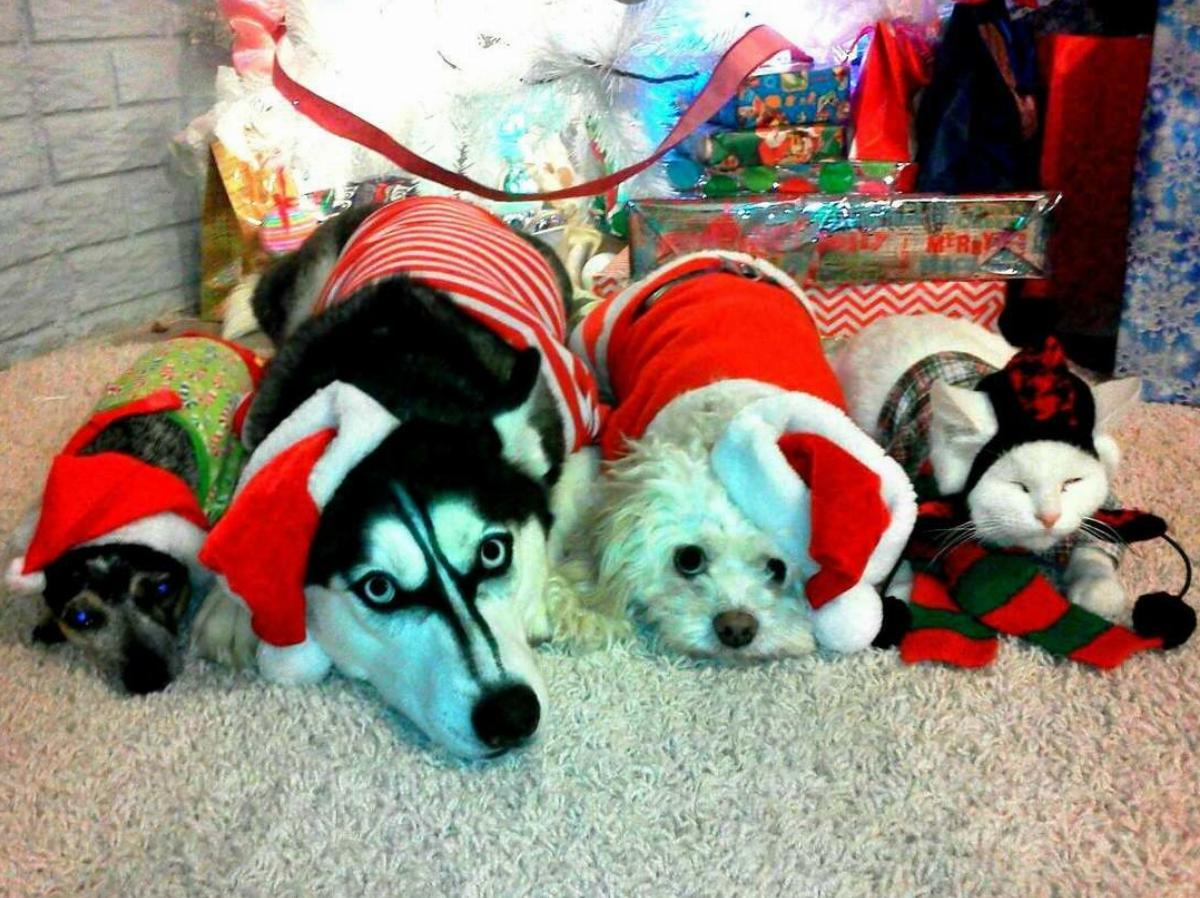 Three dogs and one cat lay on their stomachs directly next to one another dressed in Christmas attire.