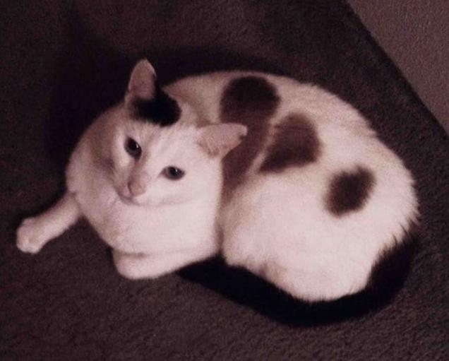 A white cat has a brown patch that appears to be two halves of a broken heart.