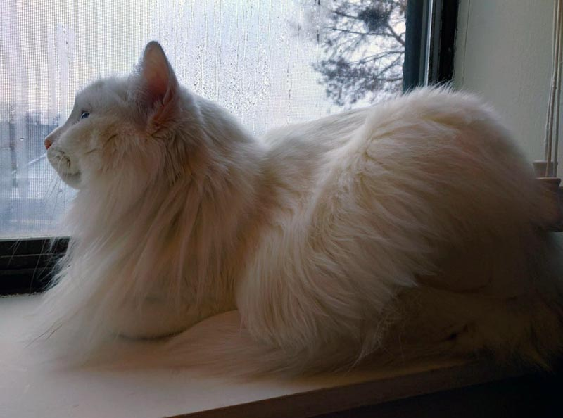 A fluffly, white cat sits on the windowsill watching the rain.