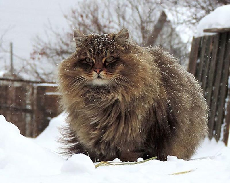The giant, fluffy coat of a cat is sprinkled with snow in a background.