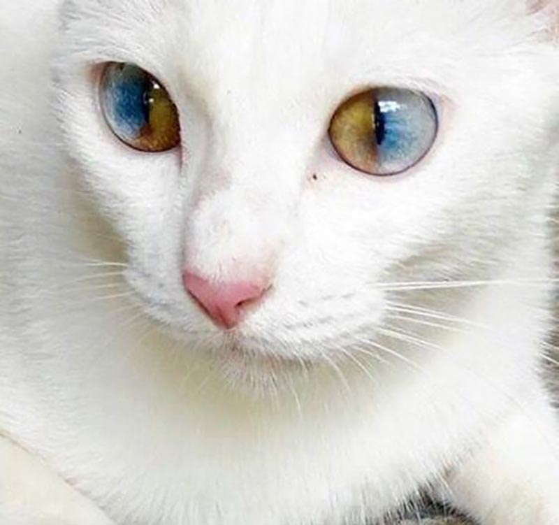 Each eye on the face of a cat is half blue and half hazel.
