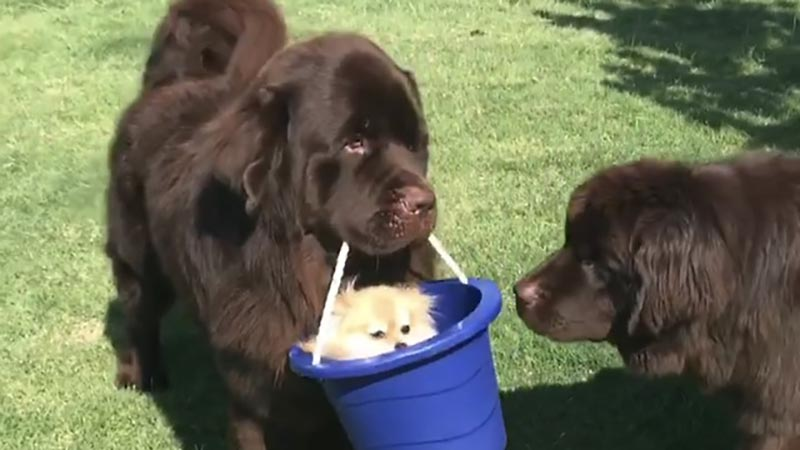 A big dog holds a bucket with a chihuahua in it.